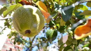 Getting to the root of the fruit trees