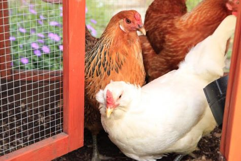 Urban Farming: the chicken farmers of Cupertino