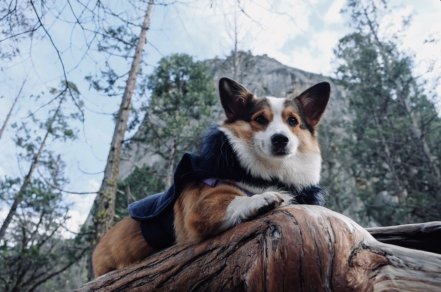 Junior Tyra Lin's corgi Mina sits for a photo at Yosemite National Park in January of 2019. Photo by Tyra Lin | Used with permission